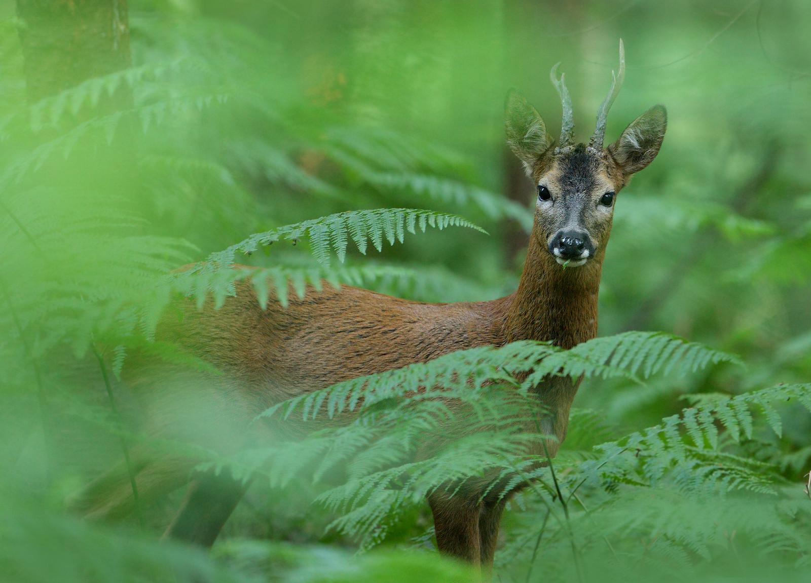 Roe Deer Buck in Ancient Woodland