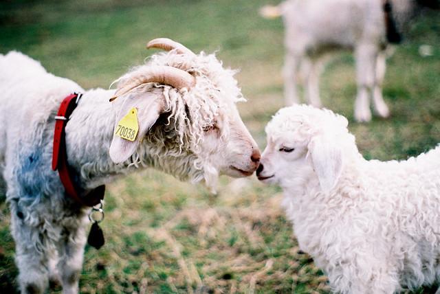 goat smooch