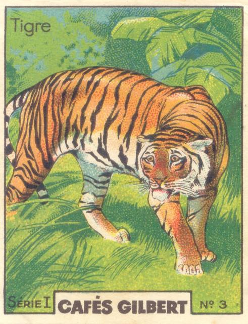 gilb tigre