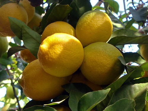 03 The Lemon Tree - A Nice Bunch of Lemons (E) | by Kansas Sebastian