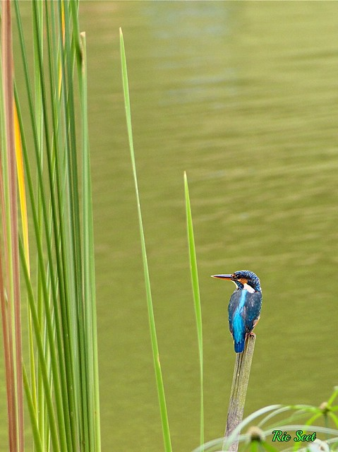 Commom Kingfisher