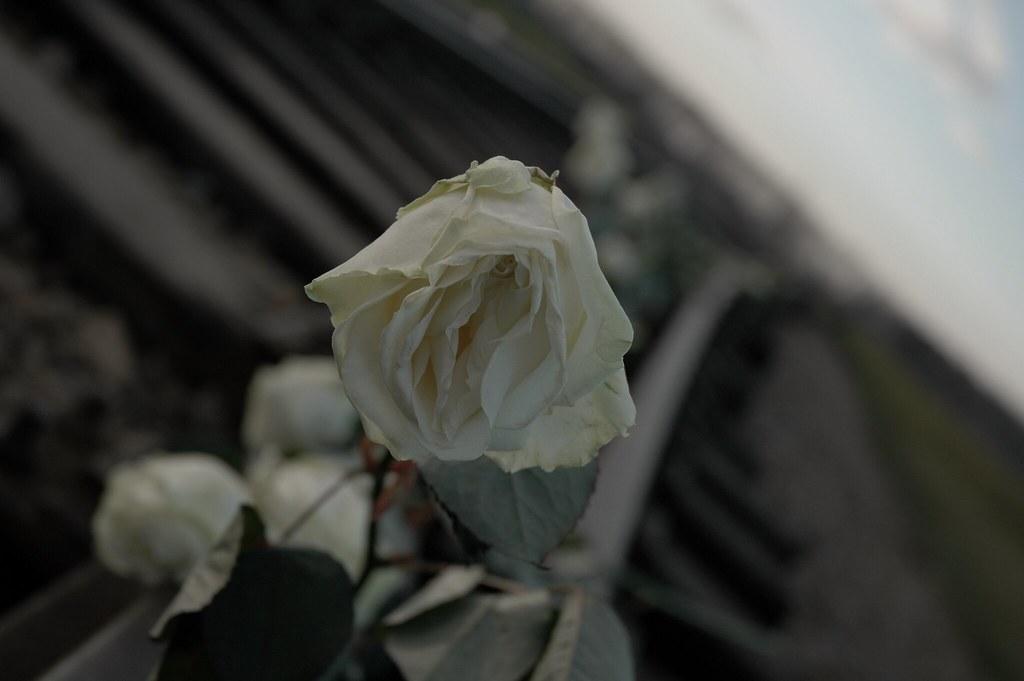 White Rose on the tracks of Auschwitz