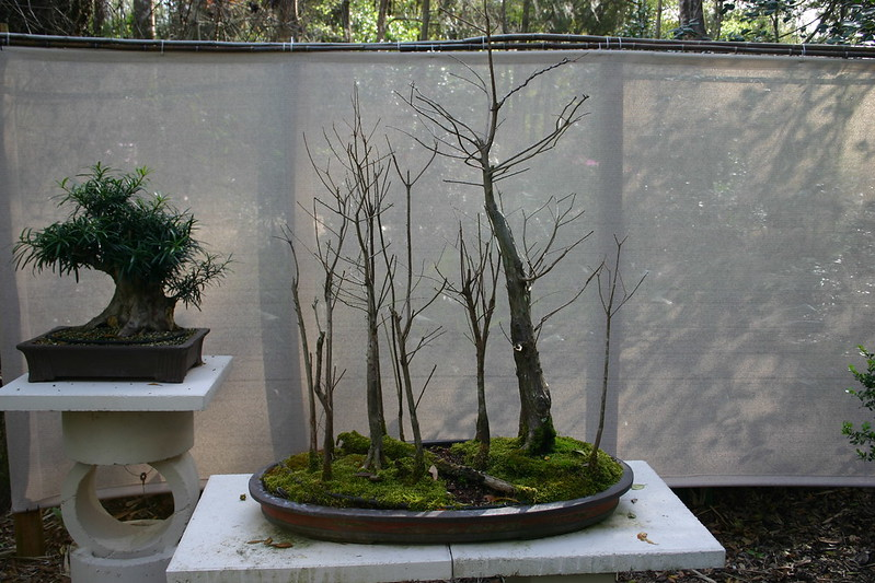 bonsai_02