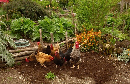 Chickens cleaning up before I sow in the bottom terrace | by hardworkinghippy : La Ferme de Sourrou