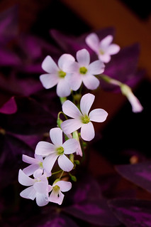 How to plant oxalis: Tips for a healthy flowering plant