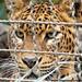 Leopardo enjaulado