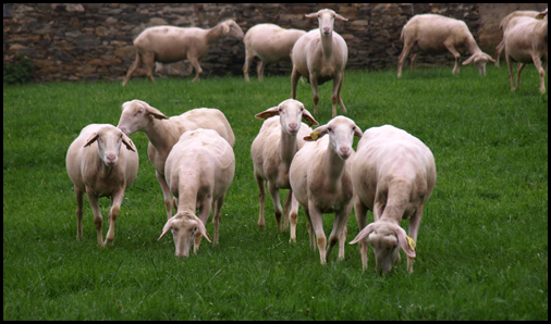 meeting the sheeps III