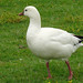 Flickr photo 'ROSS'S GOOSE   (Chen rossii)' by: Maggie.Smith.