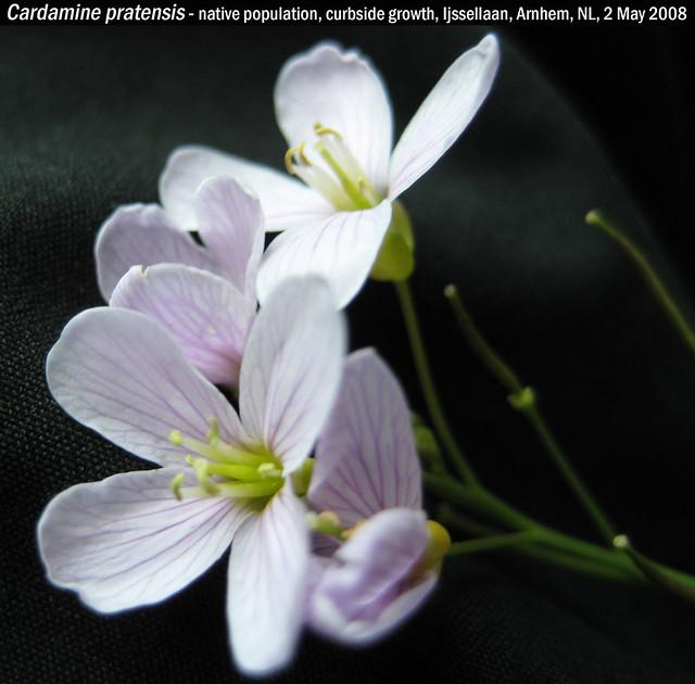 Cardamine pratensis subsp. pratensis (Pinksterbloem) - Ijssellaan Arnhem, NL 2 May 2008 Leo