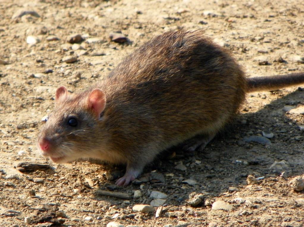 Brown Rat Rattus Norvegicus Brown Rat Rattus