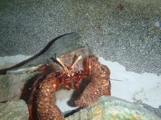 Giant Hermit Crab-1 | by keywest aquarium
