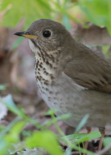 Gray-cheeked Thrush | by andysj531