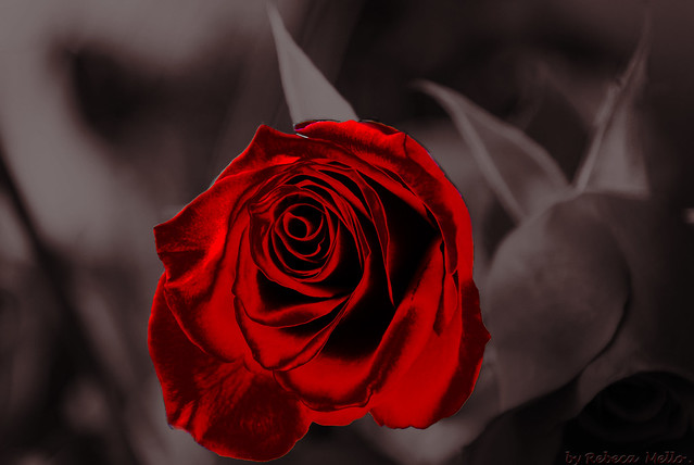 Rose by Photoshop..