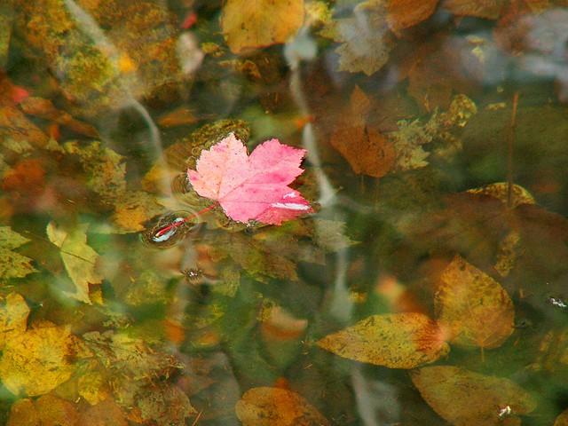 Autumn Swimmer