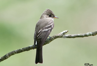 Eastern Wood-pewee | by Kelly Colgan Azar