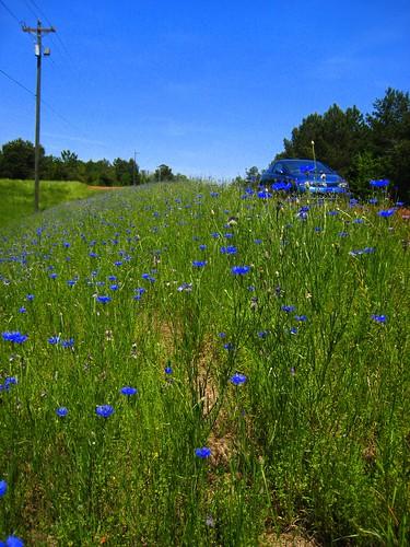 flower macro nature cornflower centaureacyanus dwarfcornflower
