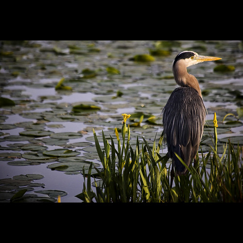 morning heron dawn may greatblueheron burnabylake avianexcellence decluttr kvdl