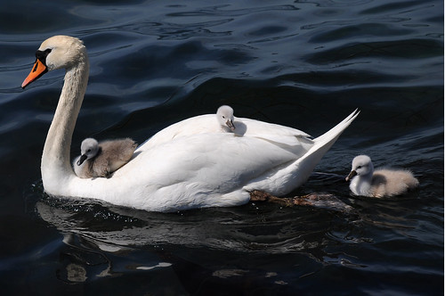 Swan with cygnets on here back.. | by L.C.Nøttaasen