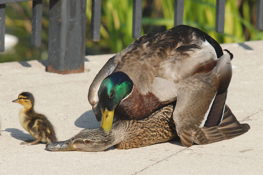 Waterfowl Sex Ratios