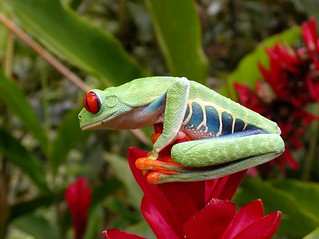Agalychnis callidryas - Rainette aux yeux rouges - Red-eyed tree frog -  FEV 07 | by Philippe_Boissel