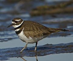 Killdeer 2 | by kevinbolton56