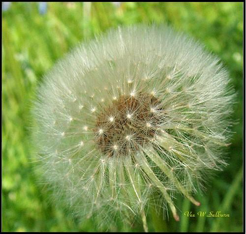 Dandelion seed head - don't fall in my garden!