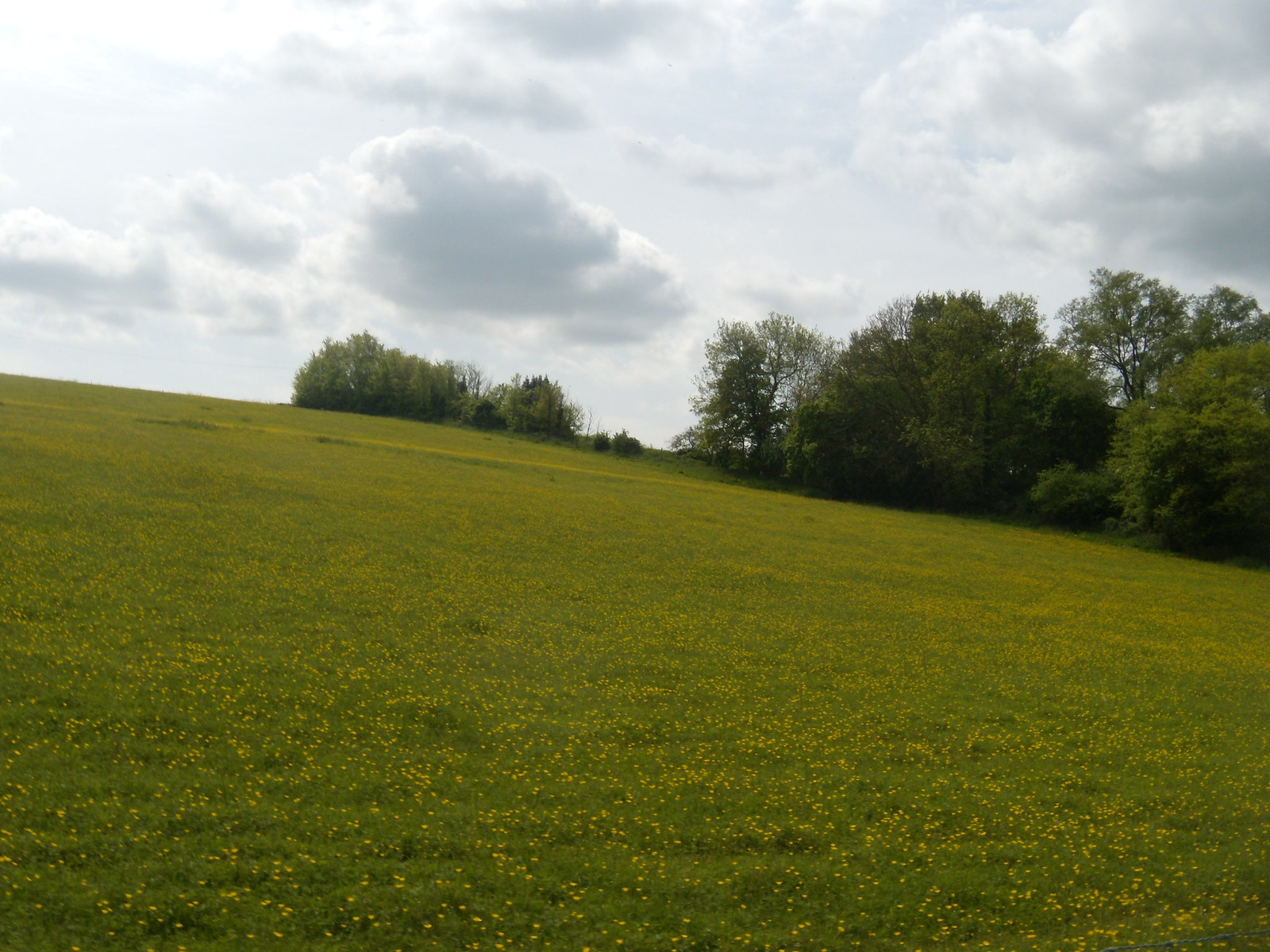Buttercups Wakes Colne to Bures