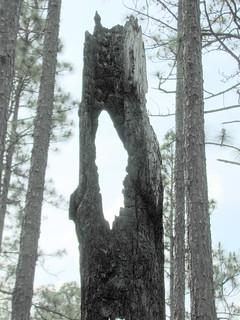 Trees Weymouth Woods NC SP 0183