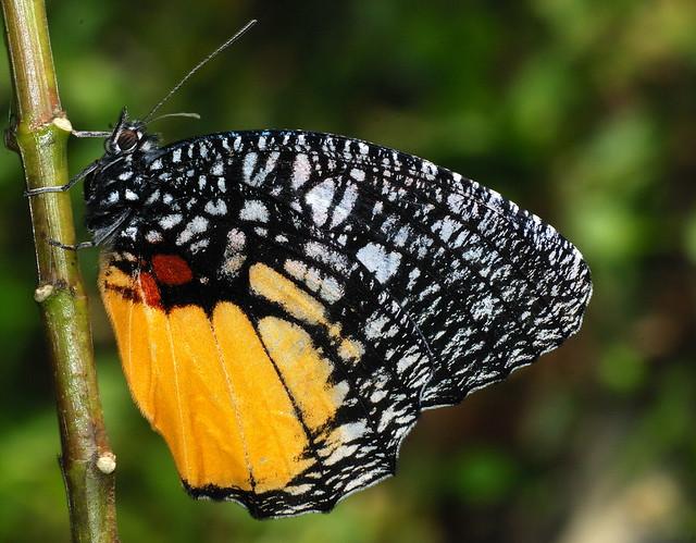 JEZEBEL PALMFLY  Elymnias vasudeva,  Namdapha National Park, Arunachal Pradesh, India