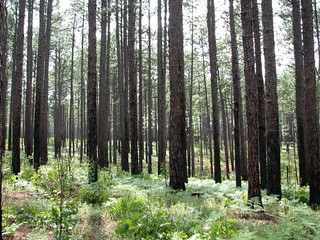 Trees Weymouth Woods NC SP 0176