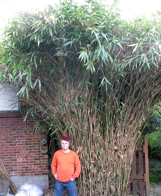 Pseudosasa japonica (Arrow Bamboo)