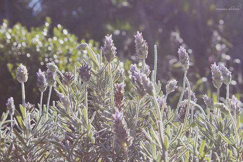 flowers flores flower purple bokeh flor lavender lavanda