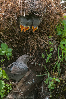 American Dipper at the Nest with Nestlings | by TheBirdersReport.com