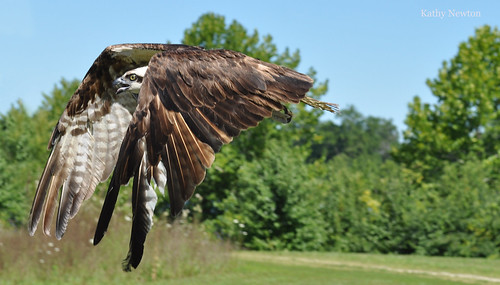 Healthy and Free  Osprey Release
