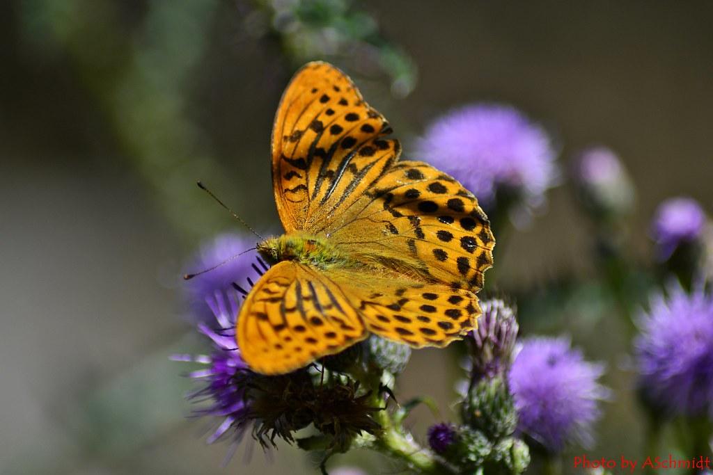 Kaisermantel - Argynnis paphia - butterfly