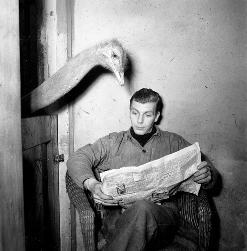 Artis struisvogel leest krant van oppasser / Ostrich reads newspaper of caretaker | by Nationaal Archief