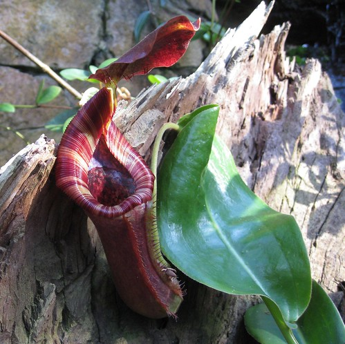 Nepenthes - Tropical Centre | by brewbooks
