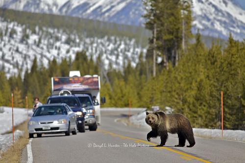 road crossing grizzly yellowstonegrizzlybearindiancreekparkyellowstoneyellowstonenationalparkwyomingunitedstatesof