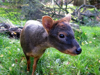What's a Pudu Do @ Edinburgh Zoo? | by rmlowe