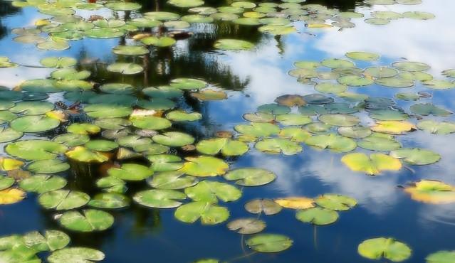 Punahou Lily Pond I