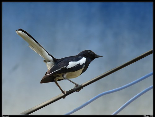 Magpie Robin 2 | by Baaps