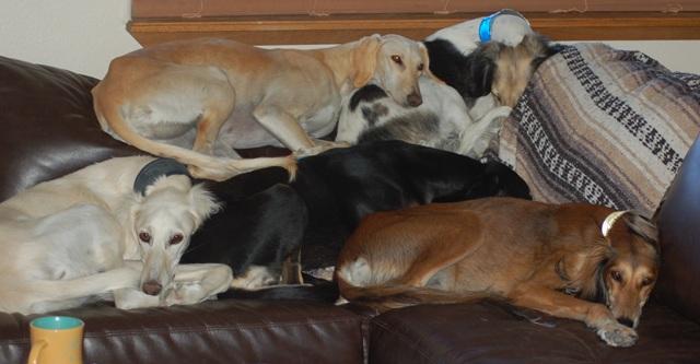 Saluki dog pile