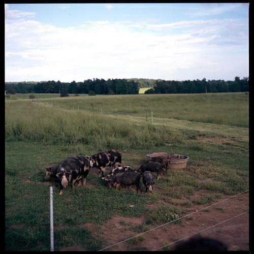 6x6 film farm slide chrome pigs transparency fujifilm fujichrome livestock e6 piglets mamiyac220 astia100f 80mmf28 canecreekfarm wellsbranchfarm