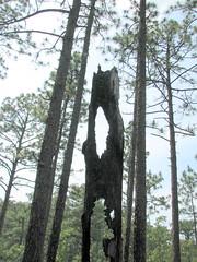 Trees Weymouth Woods NC SP 0182