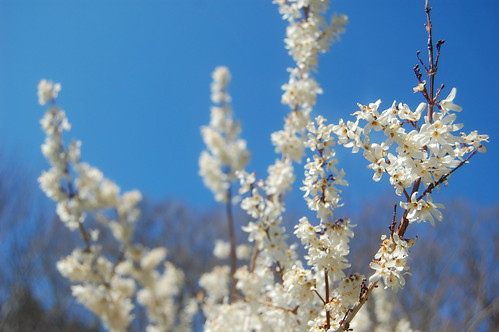 white forsythia | by sharon_k