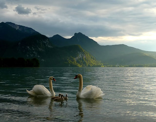 Family of Mute Swans | by Claude@Munich