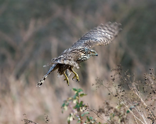 Northern Goshawk | by mnlamberson