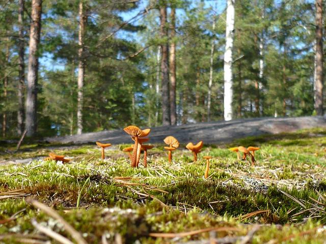 Rebozuelos en un bosque finlandés