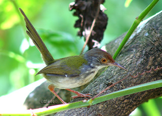 Perenjak Pisang @ Common Tailorbird | by laloq3