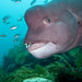 Asian Sheephead - Photo (c) Jon, some rights reserved (CC BY-NC-SA)